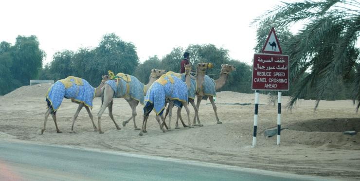 """Un clásico de Emiratos, el mítico cartel de """"peligro: paso de camellos"""". La diferencia entre este y el nuestro con una vaca es que aquí no es una leyenda y  sí que se presenta dicho animal!"""