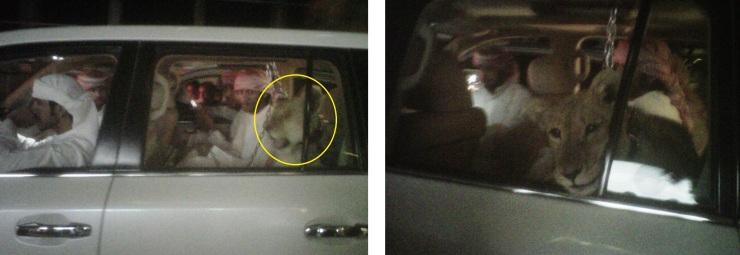 Para que veáis que siempre estamos detrás de la noticia: se trata de una panda de jóvenes locales adinerados (y con su personalidad en pleno proceso de formación) paseándose con una leona asomándose por la ventana de su 4x4. La foto está tomada con el móvil en JBR (Dubai), podéis ver a noticia aquí también.
